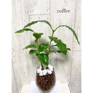 コーヒーの木 観葉植物 ハイドロカルチャー(ドライフラワー)