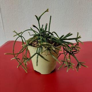多肉植物(プランター)
