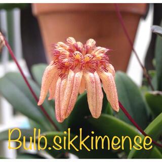 かとれあ様専用 洋蘭原種 Bulb. sikkimense 分け株(プランター)