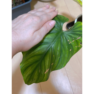 Philodendron plowmanii select'Red Form'(プランター)