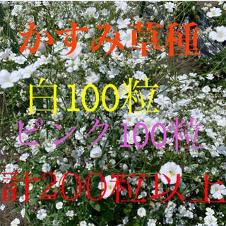 かすみ草種 白100粒+ピンク100粒 各+α 計200粒以上(プランター)