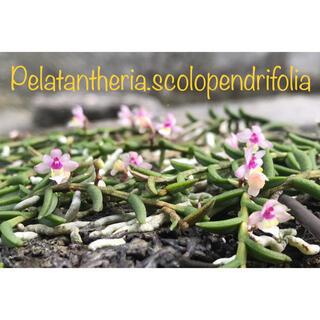 洋蘭原種 Pelatantheria.scolopendrifolia ヘゴ付(プランター)