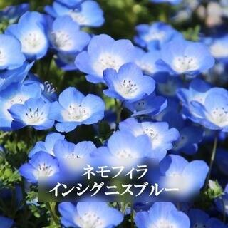 秋まき 花の種 ネモフィラ・インシグニスブルー 50粒 一年草(その他)