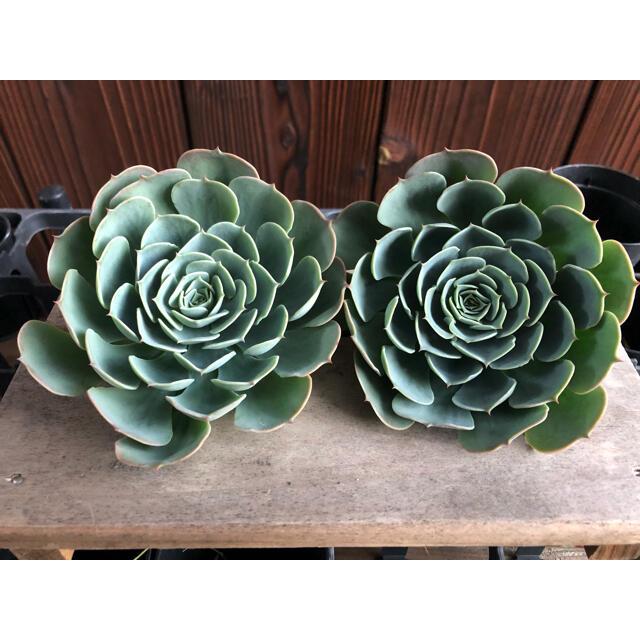 多肉植物 エケベリア 七福神 カット 2株 ハンドメイドのフラワー/ガーデン(その他)の商品写真