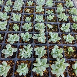 白牡丹 10本 エケベリア 多肉植物