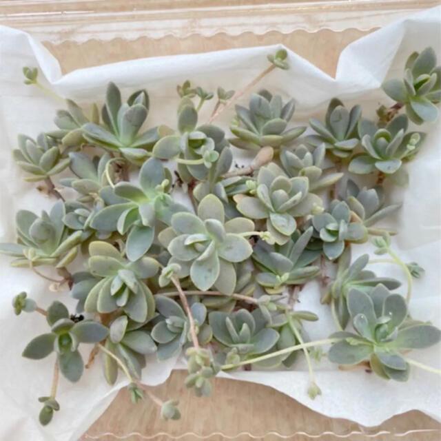 子持ち蓮華 多肉植物 セダム カット苗 ハンドメイドのフラワー/ガーデン(その他)の商品写真
