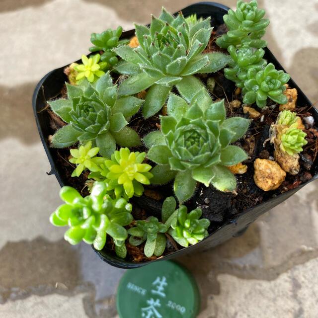 多肉植物 センペルビゥム クラクフ 抜き苗3こ ハンドメイドのフラワー/ガーデン(その他)の商品写真