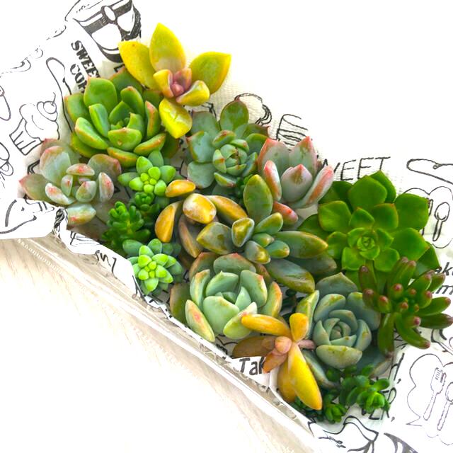 多肉植物カット苗詰め合わせ ハンドメイドのフラワー/ガーデン(その他)の商品写真