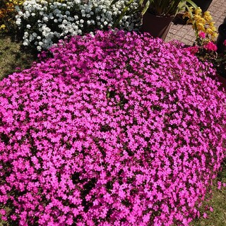 お花の種 シレネ ピンクパンサー(プランター)