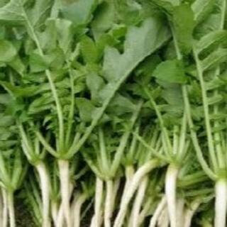 間引き大根葉 大根葉 80サイズ 詰められるだけ 大容量 採れたて新鮮野菜