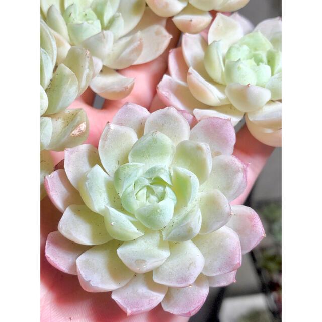 多肉植物 韓国苗 ヒューミリスhyb. ハンドメイドのフラワー/ガーデン(その他)の商品写真