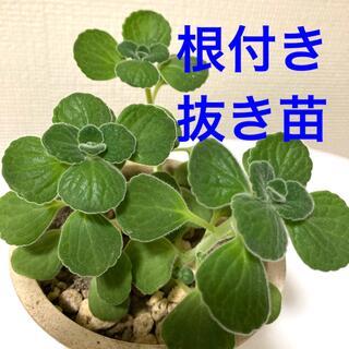 アロマティカス 抜き苗 3株(プランター)