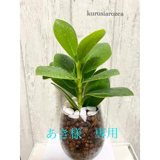 クルシアロゼア 観葉植物 ハイドロカルチャー(ドライフラワー)