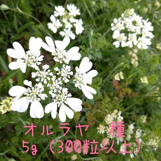 たっぷり300粒以上!オルラヤホワイトレースフラワー種☆(プランター)
