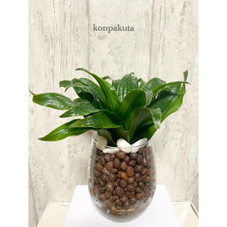 ドラセナ コンパクタ 観葉植物 ハイドロカルチャー(ドライフラワー)