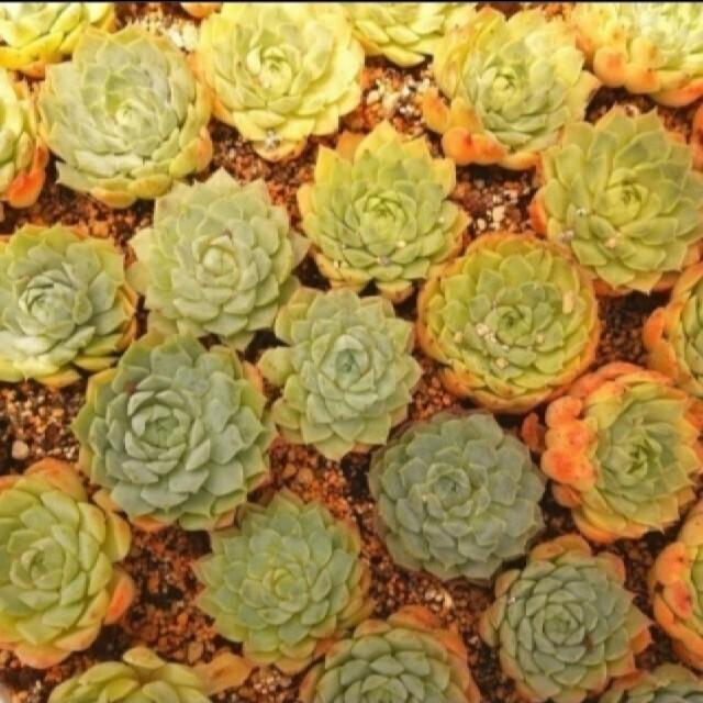 可愛いシャーロットを目指そう♡韓国苗 エケベリア シャーロットローズ 多肉植物 ハンドメイドのフラワー/ガーデン(その他)の商品写真
