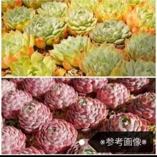 可愛いシャーロットを目指そう♡韓国苗 エケベリア シャーロットローズ 多肉植物