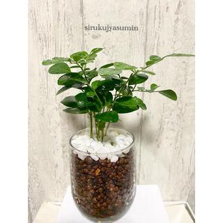 シルクジャスミン 観葉植物 ハイドロカルチャー(ドライフラワー)