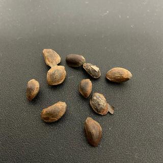 四国五葉松(赤石五葉松・石鎚五葉松)種 10粒 植木 植木鉢 盆栽 盆栽鉢(プランター)