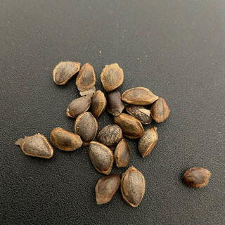四国五葉松(赤石五葉松・石鎚五葉松)種 20粒 盆栽 盆栽鉢 植木鉢 植木(プランター)