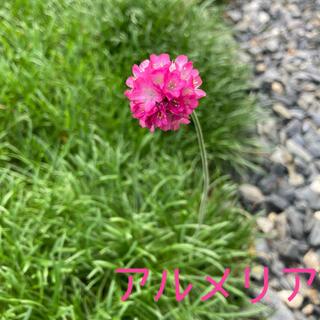アルメリア ピンク 抜き苗 3ポット(プランター)