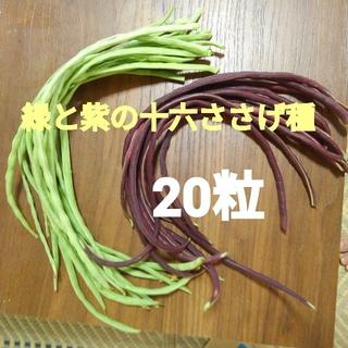 緑と紫の十六ささげ種 20粒 たねの出品です(野菜)