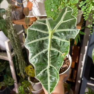 アロカシア 観葉植物 人気種 斑入り(プランター)