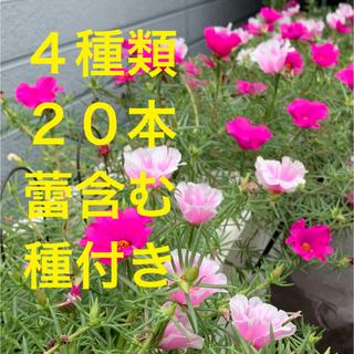 大輪松葉牡丹 大きなカット苗20本 希望の方には種付(プランター)