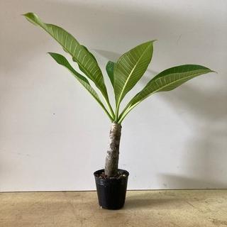 (観葉植物)発根済み鉢入りプルメリアの苗木(送料込み)(プランター)
