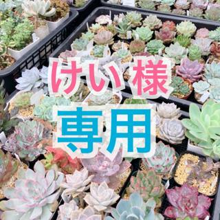 韓国苗♠レッドスーパークローン  抜き苗