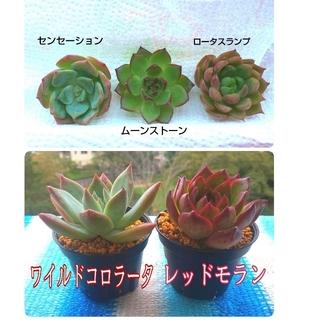 多肉植物 エケベリア 5種類 レッドモラン・ワイルドコロラータ・センセーション他