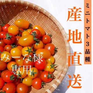 カラートマト 1kg  黄色トマト オレンジトマト採れたて☘️産地直送いたします