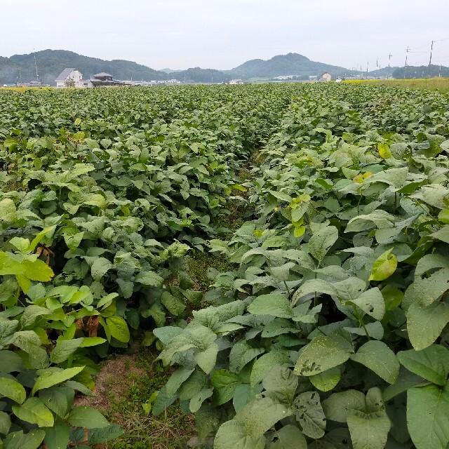丹波黒黒枝豆 1キロ 産地直送 食品/飲料/酒の食品(野菜)の商品写真