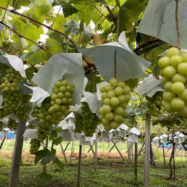 山梨勝沼産シャインマスカット1キロ 食品/飲料/酒の食品(フルーツ)の商品写真