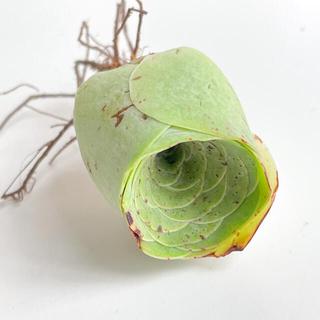 【多肉植物】グリーノビア カット苗