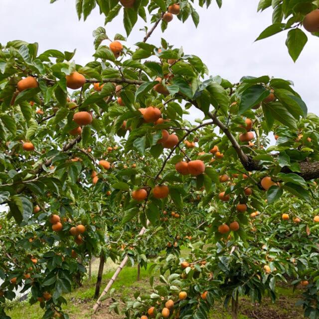 2M1 和歌山県産 たねなし柿♪ ご家庭用 20個✖️2箱セット 食品/飲料/酒の食品(フルーツ)の商品写真