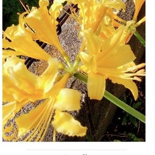 リコリス彼岸花黄色球根特大2個。(プランター)
