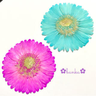 ✿押し花素材✿染色ガーベラ2輪セット【直径約6.5cm】