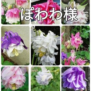 🌺花の種 西洋オダマキ ミックス ぽわわ様(その他)
