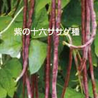 紫の十六ささげ種 たねの出品です(野菜)