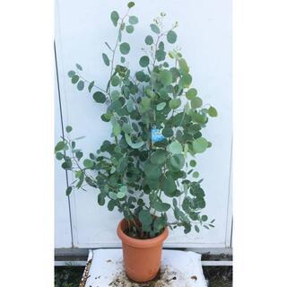 《現品》ユーカリ・ポポラス 樹高1.0m(鉢含まず)63【鉢/苗木/鉢植え】(その他)