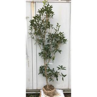 《現品》キンモクセイ 樹高2.0m(根鉢含まず)83【金木犀/苗木/植木/庭木】(その他)