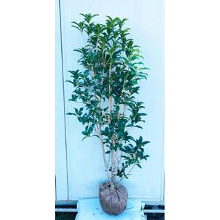 《現品》キンモクセイ 樹高1.4m(根鉢含まず)84【金木犀/苗木/植木/庭木】(その他)