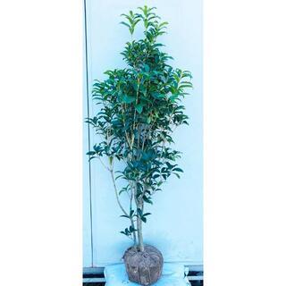《現品》キンモクセイ 樹高1.6m(根鉢含まず)85【金木犀/苗木/植木/庭木】(その他)