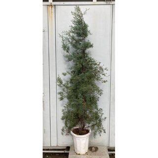 《現品》コニファ ブルーアイス 樹高1.7m(根鉢含まず)05【苗木/針葉樹】(その他)