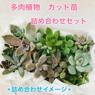 多肉植物 カット苗 寄せ植え(その他)