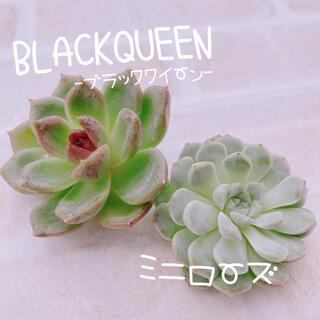 《2》多肉植物 エケベリア 韓国苗 ブラッククイーン ミニローズ♡♡(その他)
