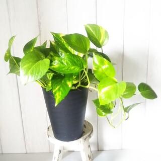 ポトス❗️鉢観葉植物!5号鉢‼️高級セラアート鉢黒❗️(プランター)
