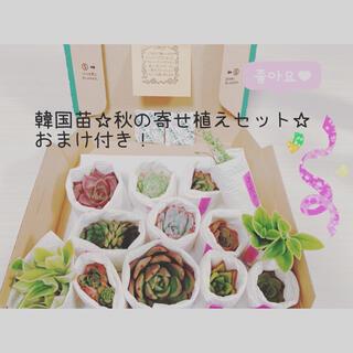 韓国苗☆秋の寄せ植えセット☆ おまけ付き!(その他)