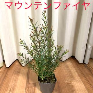 メラレウカ マウンテンファイヤ(その他)
